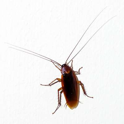cockroaches and asthma